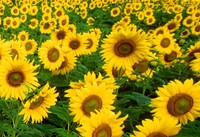 sunflowers-garden-3.jpg